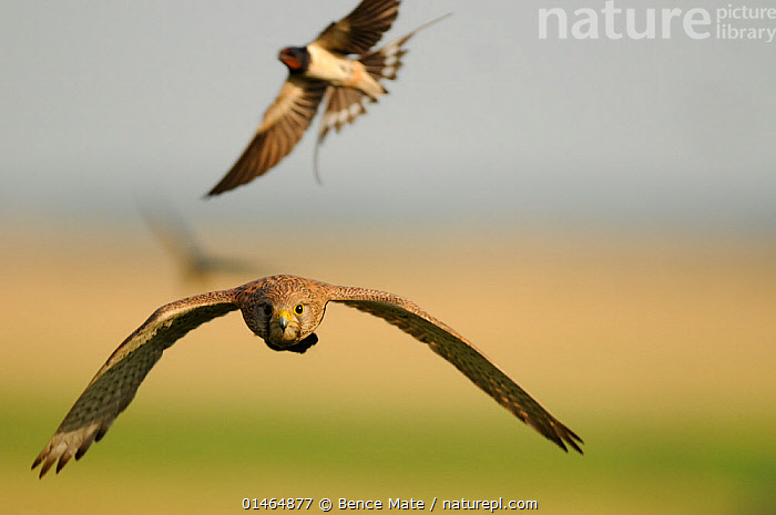 Barn swallow (Hirundo rustica) mobbing Euasian Kestrel (Falco tinnunculus) Pusztaszer, Hungary, June.  ,  catalogue7,Animal,Vertebrate,Bird,Birds,Birds of prey,Falcon,Kestrel,Songbird,Swallow,Barn swallow,Animalia,Animal,Wildlife,Vertebrate,Aves,Bird,Birds,Falconiformes,Birds of prey,Raptor,Falconidae,Falco,Falcon,Falco tinnunculus,Kestrel,European kestrel,Eurasian kestrel,Rock kestrel,Kestrels,Passeriformes,Songbird,Passerine,Hirundinidae,Hirundo,Swallow,Barn swallow,Attacking,Flying,Focus,Direction,Two,Nobody,Europe,Eastern Europe,East Europe,Hungary,Copy Space,Horizontal,Front View,View From Front,Camera Focus,Selective Focus,Focus On Foreground,Focus On Foregrounds,Wing,Wings,Outdoors,Open Air,Outside,Day,Nature,Natural,Natural World,Wild,Animal Behaviour,Defensive,Mixed species,Behaviour,Mobs,Mob,Bookplate,Flight,Handbook of Bird Photography,Wings spread,Wingspan,Two animals,Negative space,Shallow depth of field,Low depth of field,Purpose,Focused,Pusztazer  ,  Bence  Mate