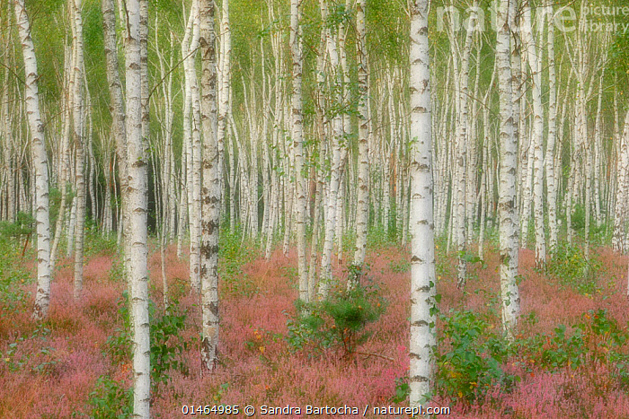 Silver birch (Betula pendula) with Heather (Calluna vulgaris) in full bloom, Reicherskreuzer Heide, Nature Reserve Schlaubetal, Germany, August.  ,  catalogue7,Plant,Vascular plant,Flowering plant,Asterid,Ling,Rosid,Birch tree,Silver birch tree,Plantae,Plant,Tracheophyta,Vascular plant,Magnoliopsida,Flowering plant,Angiosperm,Seed plant,Spermatophyte,Spermatophytina,Angiospermae,Ericales,Asterid,Dicot,Dicotyledon,Asteranae,Ericaceae,Calluna,Calluna vulgaris,Ling,Common heather,Erica vulgaris,Erica herbacea,Calluna elegantissima,Fagales,Rosid,Rosanae,Betulaceae,Betula,Birch tree,Betula pendula,Silver birch tree,European white birch,Betula verrucosa,Colour,Green,Pink,Group,Large Group,Many,Nobody,Europe,Western Europe,Germany,Camera Focus,Soft Focus,Soft Focused,Photographic Effect,Flower,Tree Trunk,Tree,Outdoors,Open Air,Outside,Day,Beautiful,Pretty,Nature,Natural,Natural World,Nature Reserve,Woodland,Broadleaf woodland,Reserve,Arty shots,Forest,Deciduous,Protected area,Green colour,Large Group of Objects,Reicherskreuzer Heide,Schlaubetal,Ericaceous,Tree,Trees  ,  Sandra Bartocha