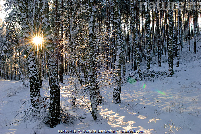 Silver birch (Betula pendula) and Scots pine (Pinus sylvestris) trunks in snow, Muritz-National Park, Germany, January.  ,  high15,,Plant,Vascular plant,Flowering plant,Rosid,Birch tree,Silver birch tree,Conifer,Pine tree,Scots pine tree,Plantae,Plant,Tracheophyta,Vascular plant,Magnoliopsida,Flowering plant,Angiosperm,Seed plant,Spermatophyte,Spermatophytina,Angiospermae,Fagales,Rosid,Dicot,Dicotyledon,Rosanae,Betulaceae,Betula,Birch tree,Betula pendula,Silver birch tree,European white birch,Betula verrucosa,Pinopsida,Conifer,Gymnosperm,Pinophyta,Coniferophyta,Coniferae,Gymnospermae,Pinales,Pinaceae,Pinus,Pine tree,Pine,Pinus sylvestris,Scots pine tree,Pinus ericetorum,Pinus frieseana,Nobody,Luminosity,Bright,Brightness,Vivid,Vividness,Europe,Western Europe,Germany,Lens Flare,Lens Flares,Back Lit,Backlit,Tree Trunk,Tree,Evergreen Tree,Coniferous Tree,Conifers,Pine Tree,Pine Trees,Pines,True Pine,True Pines,Light,Lights,Sunlight,Light Ray,Snow,Weather,Outdoors,Open Air,Outside,Winter,Day,Woodland,Cold Weather,Forest,The Sun,Scots Pine,Muritz-National Park,Tree,Trees  ,  Sandra Bartocha