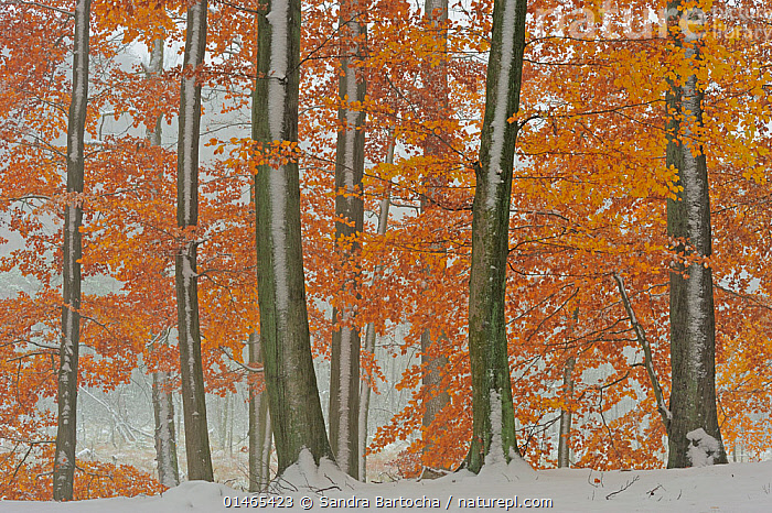 European beech (Fagus sylvatica) trees with last leaves in autumn and first snow on the ground. Serrahn, Muritz-National Park, World Natural Heritage site, Germany, November., PLANT,VASCULAR PLANT,FLOWERING PLANT,ROSID,BEECH TREE,EUROPEAN BEECH TREE,PLANTAE,PLANT,TRACHEOPHYTA,VASCULAR PLANT,MAGNOLIOPSIDA,FLOWERING PLANT,ANGIOSPERM,SEED PLANT,SPERMATOPHYTE,SPERMATOPHYTINA,ANGIOSPERMAE,FAGALES,ROSID,DICOT,DICOTYLEDON,ROSANAE,FAGACEAE,FAGUS,BEECH TREE,BEECH,FAGUS SYLVATICA,EUROPEAN BEECH TREE,COMMON BEECH,CASTANEA FAGUS,FAGUS ASPLENIFOLIA,FAGUS CRISTATA,COLOUR,ORANGE,EUROPE,WESTERN EUROPE,GERMANY,LEAF,FOLIAGE,TREE TRUNK,TREE,SNOW,AUTUMN,AUTUMNAL,FALL,WOODLAND,BROADLEAF WOODLAND,FOREST,DECIDUOUS,TREE,TREES,PLANTS, Sandra Bartocha