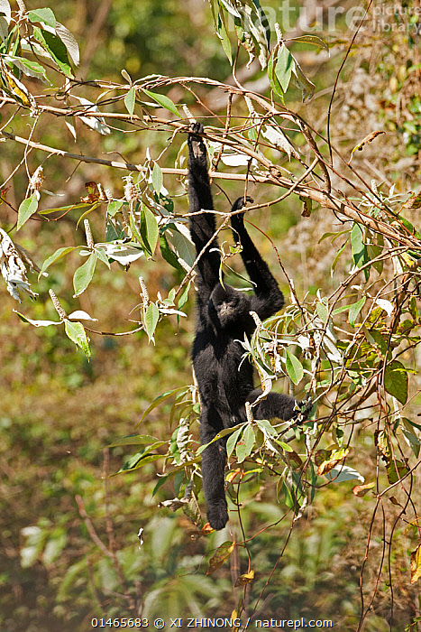 West Yunnan black-crested gibbon (Nomascus concolor furvogaster) climbing, Yunnan, China, February., ANIMAL,VERTEBRATE,MAMMAL,GIBBON,CRESTED GIBBONS,BLACK CRESTED GIBBON,WEST YUNNAN BLACK CRESTED GIBBON,ANIMALIA,ANIMAL,WILDLIFE,VERTEBRATE,CHORDATE,MAMMALIA,MAMMAL,PRIMATE,PRIMATES,HYLOBATIDAE,GIBBON,LESSER APE,HOMINOIDEA,NOMASCUS,CRESTED GIBBONS,NOMASCUS CONCOLOR,BLACK CRESTED GIBBON,BLACK GIBBON,CRESTED GIBBON,INDOCHINESE GIBBON,ASIA,EAST ASIA,CHINA,CLIMBING,MOUNTAINS OF SOUTHWEST CHINA,BIODIVERSITY HOTSPOT,NOMASCUS CONCOLOR FURVOGASTER,WEST YUNNAN BLACK CRESTED GIBBON,ENDANGERED SPECIES,THREATENED,CRITICALLY ENDANGERED,Mammals ,Vertical,, XI ZHINONG
