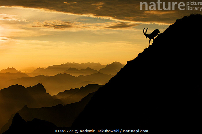 Alpine ibex (Capra ibex) male on mountainside at sunrise, Bernese Alps, Switzerland, July. Received honourable mention in the Big Picture Competition awards 2014. Nominated in the Melvita Nature Images Awards competition 2014. Specially commended in the Animals in their Environment Category of the Por el Planeta (For the Planet) competition 2015..  ,  catalogue7,Animal,Vertebrate,Mammal,Bovid,Goat,Animalia,Animal,Wildlife,Vertebrate,Mammalia,Mammal,Artiodactyla,Even-toed ungulates,Bovidae,Bovid,ruminantia,Ruminant,Capra,Goat,Wild goats,Capra ibex,Moving Down,Descending,Descend,Descends,Going Down,Running,Independence,Independent,Morning,Mornings,Alone,Solitude,Solitary,Nobody,Steep,Europe,Western Europe,Switzerland,Copy Space,Horizontal,Back Lit,Backlit,Male Animal,Mountain,Alpine,Mountain Range,Mountain Ranges,Range,Cloud,Sunrise,Landscape,Landscapes,Outdoors,Open Air,Outside,Twilight,Evening,Nature,Natural,Natural World,Wild,Animals In The Wild,Animal In The Wild,Wild Animal,Wild Animals,Habitat,Alps,Silhouette,Alpes,Dawn,Dusk,Moving,Gradient,Downhill,Bernese Alps,Reckless  ,  Radomir  Jakubowski