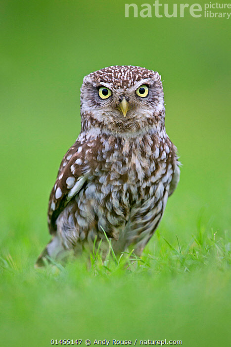 RF- Little Owl (Athene noctua) standing on ground, UK, May. (This image may be licensed either as rights managed or royalty free.)  ,  Animal,Vertebrate,Bird,Birds,Owl,Little owl,Animalia,Animal,Wildlife,Vertebrate,Aves,Bird,Birds,Strigiformes,Owl,Bird of prey,Strigidae,Striginae,Athene,Athene noctua,Little owl,Nobody,Europe,Western Europe,UK,Coloured Background,Green Background,Vertical,Close Up,Portrait,Plant,Grass Family,Grass,Grasses,Animal Eye,Eyes,Feather,Outdoors,Nature,Wild,Plumage,Yellow Eyes,Direct Gaze,Questioning,RF,Royalty free,RFCAT1,RF17Q1,  ,  Andy  Rouse