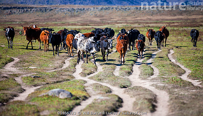 Herd of cattle (Bos indicus) walking along eroded tracks, Bale Mountains National Park, Ethiopia.  ,  catalogue7,Walking,Eroding,Togetherness,Close,Together,Unity,Colour,Brown,Herds,Many,Group,Large Group,Nobody,Dry,Arid,Africa,East Africa,Ethiopia,Front View,View From Front,Animal,Outdoors,Open Air,Outside,Day,Livestock,Reserve,Domestic animal,Cattle,Cows,Protected area,National Park,Biodiversity hotspots,Eastern Afromontane,biodiversity hotspot,Bos indicus,Mammal,Brown Colour,Bale Mountains National Park  ,  Will Burrard-Lucas