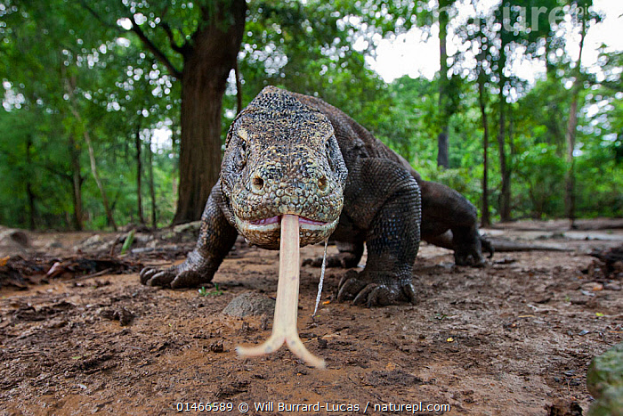 Komodo dragon (Varanus komodoensis) sensing with forked tongue, Komodo National Park, Komodo Island, Indonesia., catalogue7,Animal,Vertebrate,Reptile,Squamate,Lizard,Monitor lizard,Komodo Dragon,Vicious,Animalia,Animal,Wildlife,Vertebrate,Reptilia,Reptile,Squamata,Squamate,Varanidae,Lizard,Varanus,Monitor lizard,Monitor,Varanus komodoensis,Komodo Dragon,Komodo Monitor,Ora,Danger,Fear,Threat,Menace,Menaces,Menacing,Threatening,Threats,Nobody,Rough,Coarse,Uneven,Asia,South East Asia,Indonesia,Horizontal,Close Up,Front View,View From Front,Low Angle View,Portrait,Outdoors,Open Air,Outside,Day,Nature,Natural,Natural World,Wild,Animals In The Wild,Animal In The Wild,Wild Animal,Wild Animals,Ferocious,Woodland,Reserve,Forest,Biodiversity hotspot,Protected area,National Park,Wallacea,Direct Gaze,Vicious,Sensing,Komodo National Park,Komodo Island,Endangered species,threatened,Vulnerable,,NP,Komodo National Park,UNESCO World Heritage Site,, Will Burrard-Lucas