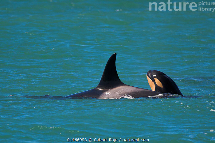 Orca (Orcinus orca) baby age 10 days, swimming with his mother. Punta Norte Natural Reserve, Peninsula Valdes, Chubut Province, Patagonia Argentina, ORCA BEB�,ORCAS 2014,ANIMAL,VERTEBRATE,MAMMAL,CETEACEAN,OCEANIC DOLPHIN,KILLER WHALE,ANIMALIA,ANIMAL,WILDLIFE,VERTEBRATE,CHORDATE,MAMMALIA,MAMMAL,CETACEA,CETEACEAN,DELPHINIDAE,OCEANIC DOLPHIN,DOLPHIN,ODONTOCETI,ORCINUS,ORCINUS ORCA,KILLER WHALE,ORCA,ORCINUS GLADIATOR,ORCINUS ATER,ORCINUS CAPENSIS,LATIN AMERICA,SOUTH AMERICA,ARGENTINA,YOUNG ANIMAL,JUVENILE,BABIES,FIN,DORSAL FIN,DORSAL FINS,OCEAN,OCEANS,ATLANTIC OCEAN,MARINE,SURFACE,TEMPERATE,FAMILY,MOTHER BABY,MOTHER BABY,MOTHER,YOUNG,BABY,MARINE,SOUTH-AMERICA, Gabriel Rojo