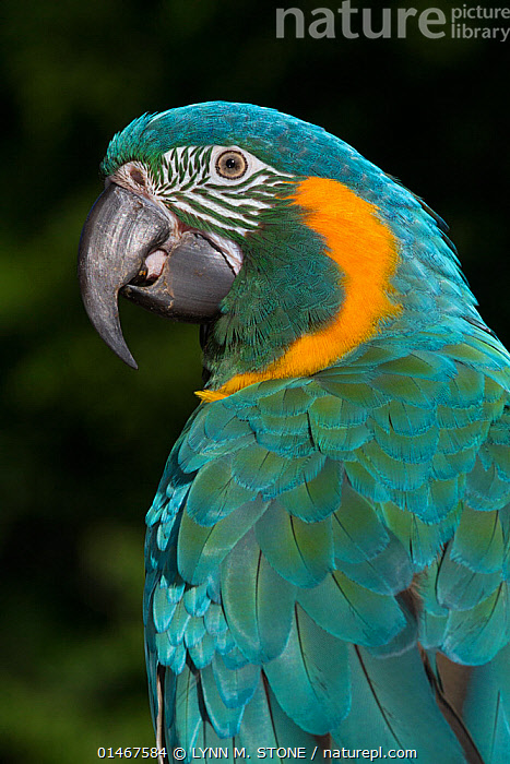 Blue-Throated Macaw (Ara glaucogularis), captive, endemic to a small area of north central Boliva, critically endangered.  ,  ANIMAL,VERTEBRATE,BIRDS,PARROT,TRUE PARROT,MACAW,BLUE THROATED MACAW,ANIMALIA,ANIMAL,WILDLIFE,VERTEBRATE,CHORDATE,AVES,BIRDS,PSITTACIFORMES,PARROT,PSITTACINES,PSITTACIDAE,TRUE PARROT,PSITTACOIDEA,ARA,MACAW,NEOTROPICAL PARROTS,ARINI,ARINAE,ARA GLAUCOGULARIS,BLUE THROATED MACAW,CANINDE MACAW,WAGLER&#39,S MACAW,LATIN AMERICA,SOUTH AMERICA,BOLIVIA,VERTICAL,PORTRAIT,ENDEMIC,ENDANGERED SPECIES,THREATENED,CRITICALLY ENDANGERED  ,  LYNN M. STONE