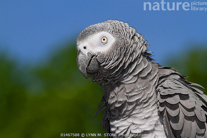 African Gray Parrot (Psittacus erithacus) native to central and western Africa., ANIMAL,VERTEBRATE,BIRDS,PARROT,TRUE PARROT,PSITTACINAE,AFRICAN GREY PARROT,ANIMALIA,ANIMAL,WILDLIFE,VERTEBRATE,CHORDATE,AVES,BIRDS,PSITTACIFORMES,PARROT,PSITTACINES,PSITTACIDAE,TRUE PARROT,PSITTACOIDEA,PSITTACUS,PSITTACINAE,PSITTACUS ERITHACUS,AFRICAN GREY PARROT,GREY PARROT,AFRICA,PROFILE,HORIZONTAL,PORTRAIT,ENDANGERED SPECIES,THREATENED,VULNERABLE, LYNN M. STONE