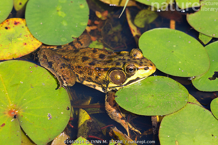 Northern Leopard Frog (Lithobates pipiens) in pond amongst  White Water-Lily pads, Connecticut, USA, August. Non exclusive.  ,  ANIMAL,VERTEBRATE,FROG,NORTHERN LEOPARD FROG,ANIMALIA,ANIMAL,WILDLIFE,VERTEBRATE,CHORDATE,AMPHIBIA,ANURA,FROG,RANIDAE,LITHOBATES,LITHOBATES PIPIENS,NORTHERN LEOPARD FROG,RANA PIPIENS,NORTH AMERICA,USA,EASTERN USA,NEW ENGLAND,CONNECTICUT,HORIZONTAL,OUTDOORS,OPEN AIR,OUTSIDE,FRESHWATER,POND,WATER  ,  LYNN M. STONE