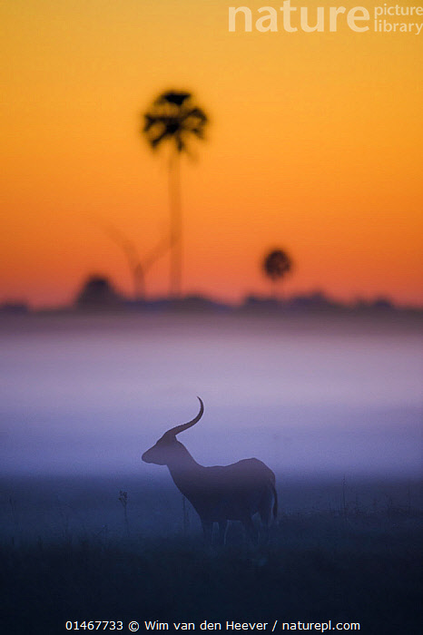 Red lechwe (Kobus leche) silhouetted at sunrise, Okavango Delta, Botswana.  ,  catalogue7,Animal,Vertebrate,Mammal,Bovid,Southern Lechwe,Red lechwe,Animalia,Animal,Wildlife,Vertebrate,Mammalia,Mammal,Artiodactyla,Even-toed ungulates,Bovidae,Bovid,ruminantia,Ruminant,Kobus,Kobus leche,Southern Lechwe,Standing,Atmospheric Mood,Atmospheric,Mystery,Mysterious,Alone,Solitude,Solitary,Lost,Colour,Purple,Yellow,Nobody,Horned,Africa,Southern Africa,Botswana,Profile,Vertical,Side View,Back Lit,Backlit,Plant,Tree,Palm Tree,Palm Trees,Palms,Sky,Mist,Sunrise,Outdoors,Open Air,Outside,Night,Nature,Natural,Natural World,Wild,Silhouette,Protected area,National Park,Horn,Dawn,Red lechwe,Zambesi lechwe,Disorientated,Yellow Colour,Okavango Delta  ,  Wim van den Heever