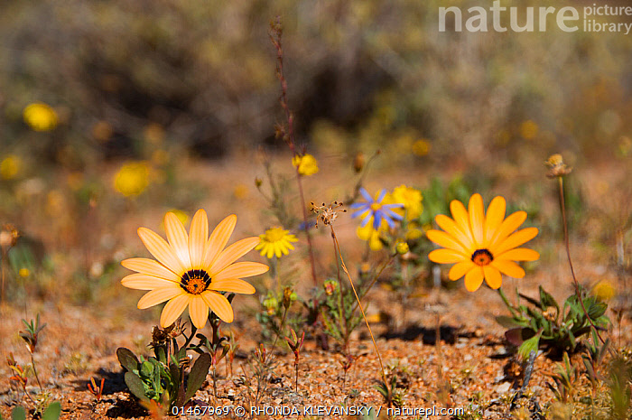 African daisies (Osteospermum pinnatum) in flower, Richtersveld National Park and World Heritage Site, Northern Cape, South Africa, August.  ,  PLANT,VASCULAR PLANT,FLOWERING PLANT,ASTERID,AFRICAN DAISY,SOUTH AFRICAN DAISY,CAPE DAISY,PLANTAE,PLANT,TRACHEOPHYTA,VASCULAR PLANT,MAGNOLIOPSIDA,FLOWERING PLANT,ANGIOSPERM,SEED PLANT,SPERMATOPHYTE,SPERMATOPHYTINA,ANGIOSPERMAE,ASTERALES,ASTERID,DICOT,DICOTYLEDON,ASTERANAE,ASTERACEAE,COMPOSITAE,COLOUR,YELLOW,AFRICA,SOUTHERN AFRICA,SOUTH AFRICA,FLOWER,DESERT,DESERTS,COLOR,PROTECTED AREA,UNESCO WORLD HERITAGE SITE,UNESCO,HERITAGE SITE,WORLD HERITAGE SITE,NATIONAL PARK,NP,RESERVE,OSTEOSPERMUM,OSTEOSPERMUM PINNATUM,AFRICAN DAISY,SOUTH AFRICAN DAISY,CAPE DAISY  ,  RHONDA KLEVANSKY