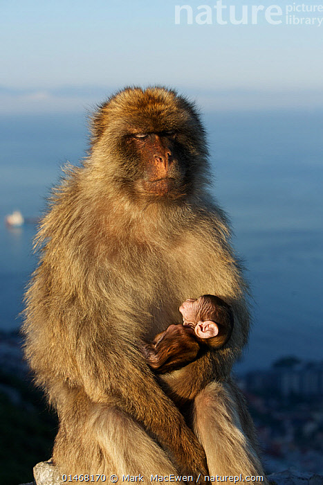 Barbary macaque (Macaca sylvanus) male holding baby, bridging behaviour to reduce aggression and form social bonds, Upper Rock area of the Gibraltar Nature Reserve, Rock of Gibraltar, June., ANIMAL,VERTEBRATE,MAMMAL,MONKEY,MACAQUE,BARBARY MACAQUE,ANIMALIA,ANIMAL,WILDLIFE,VERTEBRATE,CHORDATE,MAMMALIA,MAMMAL,PRIMATE,PRIMATES,CERCOPITHECIDAE,MONKEY,OLD WORLD MONKEYS,MACACA,MACAQUE,PAPIONINI,MACACA SYLVANUS,BARBARY MACAQUE,MACACA ECAUDATUS,MACACA INUUS,MACACA PITHECUS,MACACA PYGMAEUS,EUROPE,SOUTHERN EUROPE,SOUTH EUROPE,IBERIAN PENINSULA,YOUNG ANIMAL,JUVENILE,BABIES,MALE ANIMAL,HABITAT,ANIMAL BEHAVIOUR,SOCIAL BEHAVIOUR,BEHAVIOUR,YOUNG,BABY,ENDANGERED SPECIES,THREATENED,ENDANGERED,Mammals ,Vertical,, Mark  MacEwen