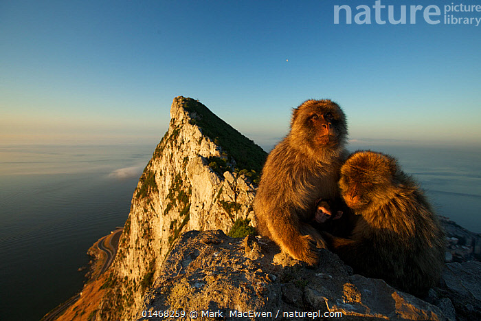 Barbary macaque (Macaca sylvanus) males with baby, as a bridging behaviour to reduce aggression and form social bonds, Upper Rock area of the Gibraltar Nature Reserve, Rock of Gibraltar, June., ANIMAL,VERTEBRATE,MAMMAL,MONKEY,MACAQUE,BARBARY MACAQUE,ANIMALIA,ANIMAL,WILDLIFE,VERTEBRATE,CHORDATE,MAMMALIA,MAMMAL,PRIMATE,PRIMATES,CERCOPITHECIDAE,MONKEY,OLD WORLD MONKEYS,MACACA,MACAQUE,PAPIONINI,MACACA SYLVANUS,BARBARY MACAQUE,MACACA ECAUDATUS,MACACA INUUS,MACACA PITHECUS,MACACA PYGMAEUS,EUROPE,SOUTHERN EUROPE,SOUTH EUROPE,IBERIAN PENINSULA,YOUNG ANIMAL,JUVENILE,BABIES,MALE ANIMAL,ROCK,ROCKS,COAST,COASTAL,HABITAT,ANIMAL BEHAVIOUR,SOCIAL BEHAVIOUR,BEHAVIOUR,YOUNG,BABY,ENDANGERED SPECIES,THREATENED,ENDANGERED,Mammals, Mark  MacEwen