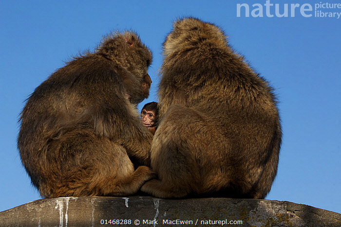 Barbary macaque (Macaca sylvanus) males with baby, as a bridging behaviour to reduce aggression and form social bonds, Upper Rock area of the Gibraltar Nature Reserve, Rock of Gibraltar, June., ANIMAL,VERTEBRATE,MAMMAL,MONKEY,MACAQUE,BARBARY MACAQUE,ANIMALIA,ANIMAL,WILDLIFE,VERTEBRATE,CHORDATE,MAMMALIA,MAMMAL,PRIMATE,PRIMATES,CERCOPITHECIDAE,MONKEY,OLD WORLD MONKEYS,MACACA,MACAQUE,PAPIONINI,MACACA SYLVANUS,BARBARY MACAQUE,MACACA ECAUDATUS,MACACA INUUS,MACACA PITHECUS,MACACA PYGMAEUS,EUROPE,SOUTHERN EUROPE,SOUTH EUROPE,IBERIAN PENINSULA,YOUNG ANIMAL,JUVENILE,BABIES,MALE ANIMAL,ANIMAL BEHAVIOUR,SOCIAL BEHAVIOUR,BEHAVIOUR,YOUNG,BABY,ENDANGERED SPECIES,THREATENED,ENDANGERED,Mammals, Mark  MacEwen
