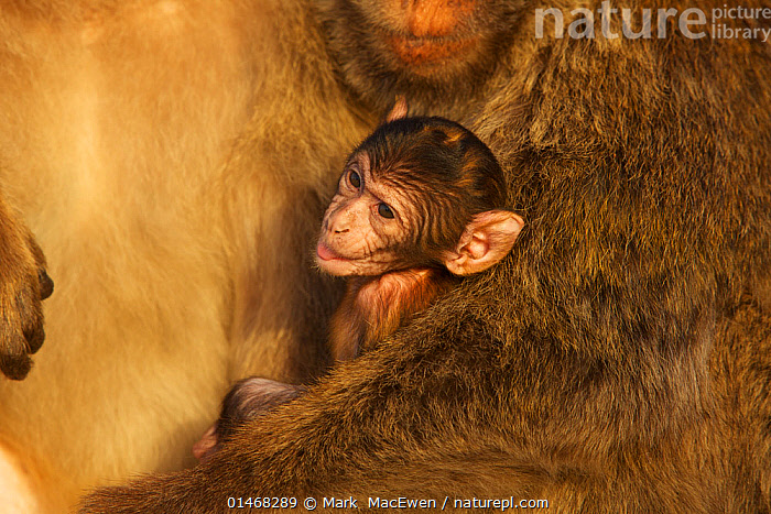 Barbary macaque (Macaca sylvanus) males with baby, as a bridging behaviour to reduce aggression and form social bonds, Upper Rock area of the Gibraltar Nature Reserve, Rock of Gibraltar, June., ANIMAL,VERTEBRATE,MAMMAL,MONKEY,MACAQUE,BARBARY MACAQUE,ANIMALIA,ANIMAL,WILDLIFE,VERTEBRATE,CHORDATE,MAMMALIA,MAMMAL,PRIMATE,PRIMATES,CERCOPITHECIDAE,MONKEY,OLD WORLD MONKEYS,MACACA,MACAQUE,PAPIONINI,MACACA SYLVANUS,BARBARY MACAQUE,MACACA ECAUDATUS,MACACA INUUS,MACACA PITHECUS,MACACA PYGMAEUS,EUROPE,SOUTHERN EUROPE,SOUTH EUROPE,IBERIAN PENINSULA,PORTRAIT,YOUNG ANIMAL,JUVENILE,BABIES,MALE ANIMAL,ANIMAL BEHAVIOUR,SOCIAL BEHAVIOUR,BEHAVIOUR,YOUNG,BABY,ENDANGERED SPECIES,THREATENED,ENDANGERED,Mammals, Mark  MacEwen