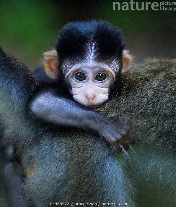 Long-tailed macaque (Macaca fascicularis) baby aged 2-4 weeks clinging to its mothers back. Bako National Park, Sarawak, Borneo, Malaysia., ANIMAL,VERTEBRATE,MAMMAL,MONKEY,MACAQUE,CRAB EATING MACAQUE,ANIMALIA,ANIMAL,WILDLIFE,VERTEBRATE,CHORDATE,MAMMALIA,MAMMAL,PRIMATE,PRIMATES,CERCOPITHECIDAE,MONKEY,OLD WORLD MONKEYS,MACACA,MACAQUE,PAPIONINI,MACACA FASCICULARIS,CRAB EATING MACAQUE,CYNOMOLGUS MONKEY,LONG TAILED MACAQUE,CUTE,ADORABLE,ASIA,SOUTH EAST ASIA,VERTICAL,PORTRAIT,YOUNG ANIMAL,JUVENILE,BABIES,BORNEO ISLAND,BORNEO,YOUNG,SUNDALAND,BIODIVERSITY HOTSPOTS,BIODIVERSITY HOTSPOT,PROTECTED AREA,NATIONAL PARK,NP,RESERVE,Mammals ,vertical,, Anup Shah