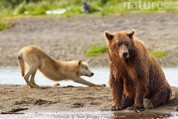 Grizzly bear (Ursus arctos horribilis) with Grey wolf (Canis lupus) stretching behind, Katmai National Park, Alaska, USA, August.  ,  high1314,Animal,Vertebrate,Mammal,Carnivore,Bear,Brown Bear,Canid,Dog,Grey Wolf,Grizzly bear,American,Animalia,Animal,Wildlife,Vertebrate,Mammalia,Mammal,Carnivora,Carnivore,Ursidae,Bear,Ursus,Ursus arctos,Brown Bear,Canidae,Canid,Canis,Dog,Canis lupus,Grey Wolf,Common Wolf,Gray Wolf,Wolf,Stretching,Sitting,Glance,Glances,Glancing,Look Away,Looks Away,Defeat,Beat,Defeated,Defeats,Friendship,Sadness,Two,Nobody,Wet,North America,USA,Western USA,Alaska,Camera Focus,Selective Focus,Focus On Foreground,Focus On Foregrounds,Hair,Fur,Beach,Outdoors,Open Air,Outside,Day,Coast,Coastal,Reserve,Mixed species,Grizzly bear,Unlikely friends,Unusual friends,Protected area,National Park,Two animals,Katmai National Park,Shallow depth of field,Low depth of field,Downcast,American,Animal Hair  ,  Oliver Scholey