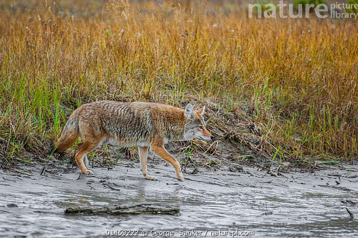 Coyote (Canis latrans) approaching the Athabasca River. Jasper National Park, Alberta, Canada, September  ,  ANIMAL,VERTEBRATE,MAMMAL,CARNIVORE,CANID,DOG,COYOTE,ANIMALIA,ANIMAL,WILDLIFE,VERTEBRATE,CHORDATE,MAMMALIA,MAMMAL,CARNIVORA,CARNIVORE,CANIDAE,CANID,CANIS,DOG,CANIS LATRANS,COYOTE,AMERICAN JACKAL,BRUSH WOLF,PRAIRIE WOLF,APPROACHING,APPROACH,APPROACHES,APPROACHS,NORTH AMERICA,CANADA,ALBERTA,HORIZONTAL,FLOWING WATER,RIVER,FRESHWATER,WATER,PROTECTED AREA,UNESCO WORLD HERITAGE SITE,UNESCO,HERITAGE SITE,WORLD HERITAGE SITE,NATIONAL PARK,NP,RESERVE,CANADIAN NATIONAL PARKS,JASPER NATIONAL PARK,,Canadian Rocky Mountain Parks World Heritage Site, UNESCO World Heritage Site,Rocky Mountains,Rockies,NP,Reserve,  ,  George  Sanker