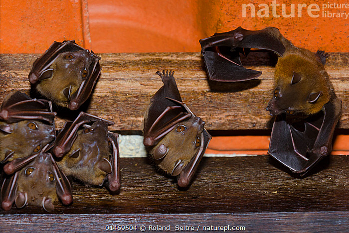 Lesser short-nosed fruit bat (Cynopterus brachyotis) captive at Singapore Zoo, Singapore. Native to south east Asia and Borneo.  ,  ANIMAL,VERTEBRATE,MAMMAL,BAT,MEGA BAT,COMMON SHORT NOSED FRUIT BAT,ANIMALIA,ANIMAL,WILDLIFE,VERTEBRATE,CHORDATE,MAMMALIA,MAMMAL,CHIROPTERA,BAT,PTEROPODIDAE,MEGA BAT,MEGABAT,MEGACHIROPTERA,CYNOPTERUS ),CYNOPTERUS BRACHYOTIS,COMMON SHORT NOSED FRUIT BAT,LESSER DOG FACED FRUIT BAT,LESSER SHORT NOSED FRUIT BAT,RESTING,REST,ROOSTING,ROOST,ASIA,HORIZONTAL  ,  Roland  Seitre