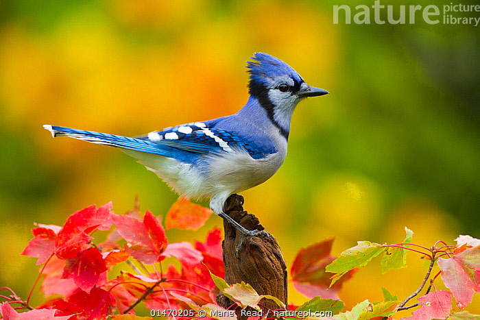 Blue jay (Cyanocitta cristata) perched amongst autumn foliage, New York, USA, October., ANIMAL,VERTEBRATE,BIRDS,SONGBIRD,CROW,BLUE JAY,ANIMALIA,ANIMAL,WILDLIFE,VERTEBRATE,CHORDATE,AVES,BIRDS,PASSERIFORMES,SONGBIRD,PASSERINE,CORVIDAE,CROW,CORVID,CYANOCITTA,CYANOCITTA CRISTATA,BLUE JAY,CORVUS CRISTATUS,COLOURFUL,COLORFUL,NORTH AMERICA,USA,EASTERN USA,MID ATLANTIC US,NEW YORK,PROFILE,PLANT,LEAF,FOLIAGE,AUTUMN,AUTUMNAL,FALL, Marie  Read
