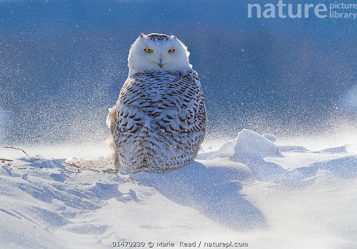 Female Snowy owl (Nyctea scandiaca) backlit surrounded by blowing snow, near Georgian Bay, Ontario, Canada  ,  catalogue7,Animal,Vertebrate,Bird,Birds,Owl,True owl,Snowy owl,Animalia,Animal,Wildlife,Vertebrate,Aves,Bird,Birds,Strigiformes,Owl,Bird of prey,Strigidae,True owl,Typical owl,Striginae,Bubo,Bubo scandiaca,Snowy owl,Snow owl,Strix scandiaca,Nyctea scandiaca,Waiting,People,Alertness,Alert,Resilience,Resilient,Patience,Nobody,North America,Canada,Ontario,Female animal,Feather,Feathers,Shadow,Snow,Outdoors,Open Air,Outside,Day,Nature,Natural,Natural World,Wild,Plumage,Yellow Eyes,Eye colour,Georgian Bay  ,  Marie  Read