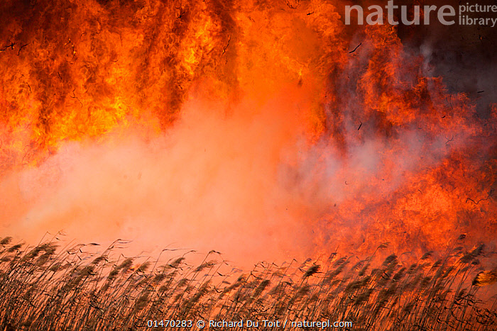 Wild fire over Phragmites reed beds, Marievale Bird Sanctuary, South Africa, June 2013.  ,  PLANT,VASCULAR PLANT,FLOWERING PLANT,MONOCOT,GRASS,REED,PLANTAE,PLANT,TRACHEOPHYTA,VASCULAR PLANT,MAGNOLIOPSIDA,FLOWERING PLANT,ANGIOSPERM,SEED PLANT,SPERMATOPHYTE,SPERMATOPHYTINA,ANGIOSPERMAE,POALES,MONOCOT,MONOCOTYLEDON,LILIANAE,POACEAE,GRASS,TRUE GRASS,GRAMINEAE,PHRAGMITES,REED,BURN,COMBUSTION,LIT,DANGER,AFRICA,SOUTHERN AFRICA,SOUTH AFRICA,FIRE,FIRES,FLAMING,EMERGENCIES AND DISASTERS,DISASTER,DISASTERS,ENVIRONMENT,ENVIRONMENTAL ISSUES,ENVIRONMENTAL DAMAGE,CONSERVATION ISSUES,PROTECTED AREA,RESERVE,DRAMATIC,ENVIRONMENTAL CONCERN,SOUTHERN AFRICAN,WILDFIRE,RAMSAR SITE,SOUTH AFRICAN,WILD FIRE,WILD FIRES,Plants  ,  Richard Du Toit