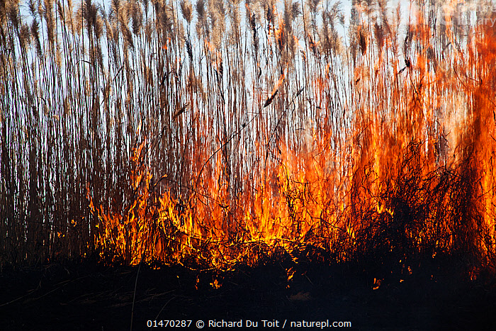 Wild fire over Phragmites reed beds, Marievale Bird Sanctuary, South Africa, June 2013.  ,  DANGER,TEMPERATURE,HOT,AFRICA,SOUTHERN AFRICA,SOUTH AFRICA,FIRE,FIRES,FLAMING,EMERGENCIES AND DISASTERS,DISASTER,DISASTERS,ENVIRONMENT,ENVIRONMENTAL ISSUES,ENVIRONMENTAL DAMAGE,CONSERVATION ISSUES,PROTECTED AREA,RESERVE,DRAMATIC,ENVIRONMENTAL CONCERN,SOUTHERN AFRICAN,WILDFIRE,RAMSAR SITE,SOUTH AFRICAN,WILD FIRE,WILD FIRES  ,  Richard Du Toit