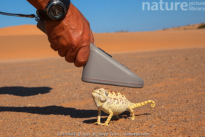Namaqua chameleon (Chamaeleo namaquensis) being scanned for microchip, part of conservation project, Namib Desert, Namibia, April.  ,  ANIMAL,VERTEBRATE,REPTILE,SQUAMATE,CHAMELEON,CHAMELEONS,DESERT CHAMELEON,ANIMALIA,ANIMAL,WILDLIFE,VERTEBRATE,CHORDATE,REPTILIA,REPTILE,SQUAMATA,SQUAMATE,CHAMAELEONIDAE,CHAMELEON,LIZARD,CHAMAELEO,CHAMELEONS,CHAMAELEO NAMAQUENSIS,DESERT CHAMELEON,CHAMAELEO CAPENSIS,RESEARCH,RESEARCHING,AFRICA,SOUTHERN AFRICA,NAMIBIA,SOUTH WEST AFRICA,HAND,DESERT,DESERTS,CONSERVATION  ,  Ann  & Steve Toon