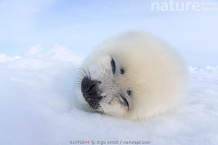Harp seal (Phoca groenlandicus) pup sleeping on sea ice, Magdalen Islands, Gulf of St Lawrence, Quebec, Canada, March., ANIMAL,VERTEBRATE,MAMMAL,CARNIVORE,TRUE SEAL,GREENLAND SEAL,ANIMALIA,ANIMAL,WILDLIFE,VERTEBRATE,CHORDATE,MAMMALIA,MAMMAL,CARNIVORA,CARNIVORE,PHOCIDAE,TRUE SEAL,PINNIPEDS,PINNIPEDIA,PAGOPHILUS,PAGOPHILUS GROENLANDICUS,GREENLAND SEAL,HARP SEAL,PHOCA GROENLANDICUS,PHOCA OCEANICA,PHOCA SEMILUNARIS,RESTING,REST,SLEEPING,CUTE,ADORABLE,FLUFFY,NORTH AMERICA,CANADA,QUEBEC,YOUNG ANIMAL,JUVENILE,BABIES,BABY MAMMAL,BABY MAMMALS,PUP,PUPS,ICE,PACK ICE,OCEAN,OCEANS,ATLANTIC OCEAN,YOUNG,BABY,MARINE,Mammals,CARNIVORES, Ingo Arndt