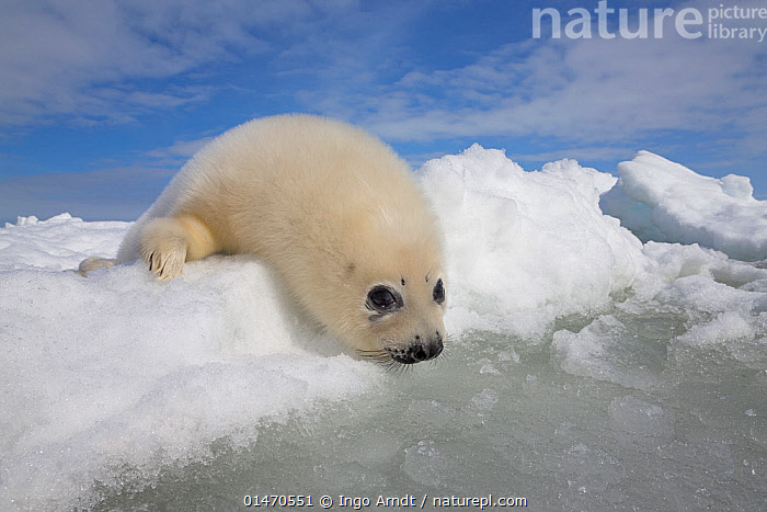 Harp seal (Phoca groenlandicus) pup on sea ice looking down into icy water, Magdalen Islands, Gulf of St Lawrence, Quebec, Canada, March., ANIMAL,VERTEBRATE,MAMMAL,CARNIVORE,TRUE SEAL,GREENLAND SEAL,ANIMALIA,ANIMAL,WILDLIFE,VERTEBRATE,CHORDATE,MAMMALIA,MAMMAL,CARNIVORA,CARNIVORE,PHOCIDAE,TRUE SEAL,PINNIPEDS,PINNIPEDIA,PAGOPHILUS,PAGOPHILUS GROENLANDICUS,GREENLAND SEAL,HARP SEAL,PHOCA GROENLANDICUS,PHOCA OCEANICA,PHOCA SEMILUNARIS,NORTH AMERICA,CANADA,QUEBEC,YOUNG ANIMAL,JUVENILE,BABIES,BABY MAMMAL,BABY MAMMALS,PUP,PUPS,ICE,PACK ICE,OCEAN,OCEANS,ATLANTIC OCEAN,YOUNG,BABY,MARINE,Mammals,CARNIVORES, Ingo Arndt