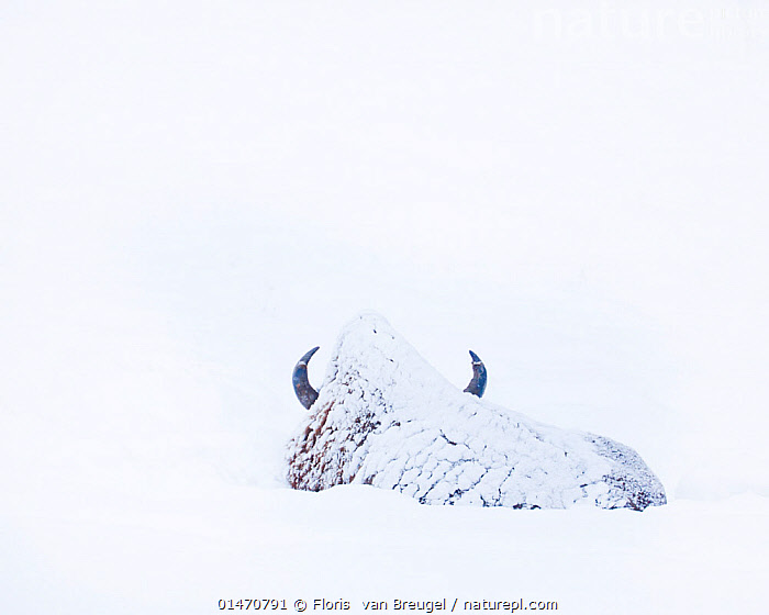 American Bison (Bison bison) covered in snow, Lamar Valley, Yellowstone National Park, Wyoming, USA. December., ANIMAL,VERTEBRATE,MAMMAL,BOVID,BISON,AMERICAN BISON,ANIMALIA,ANIMAL,WILDLIFE,VERTEBRATE,CHORDATE,MAMMALIA,MAMMAL,ARTIODACTYLA,EVEN TOED UNGULATES,BOVIDAE,BOVID,RUMINANTIA,RUMINANT,BISON,BISON BISON,AMERICAN BISON,AMERICAN BUFFALO,COVERING,COATED,COATING,COATINGS,COVER UP,COVER,COVERED,COVERS,OBSCURED,COLOUR,WHITE,NORTH AMERICA,USA,WESTERN USA,WYOMING,SNOW,WEATHER,WINTER,ARTY SHOTS,COLOR,PROTECTED AREA,NATIONAL PARK,NP,RESERVE, Floris  van Breugel