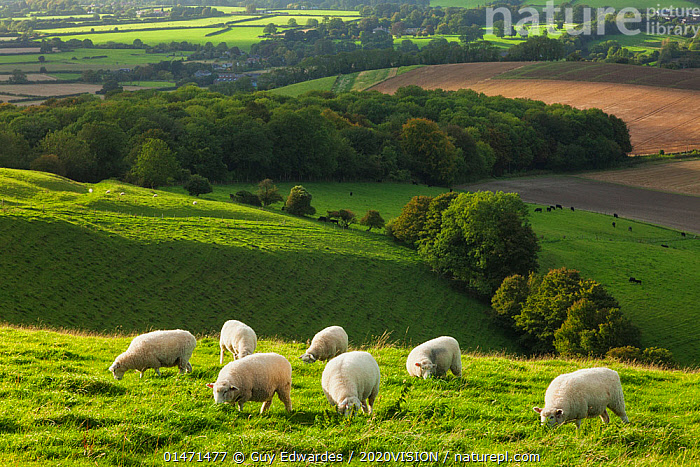 Chalk downland landscape with sheep grazing, Cranborne Chase, Wiltshire, England, UK, September 2011., EUROPE,WESTERN EUROPE,UK,GREAT BRITAIN,ENGLAND,WILTSHIRE,ANIMAL,CULTIVATED LAND,FIELDS,COUNTRYSIDE,LANDSCAPE,LANDSCAPES,SUMMER,AGRICULTURE,DOMESTIC ANIMAL,DOMESTIC ANIMALS,FARMLAND,DOMESTICATED,OVIS ARIES,2020VISION,2020V,United Kingdom, Guy Edwardes / 2020VISION