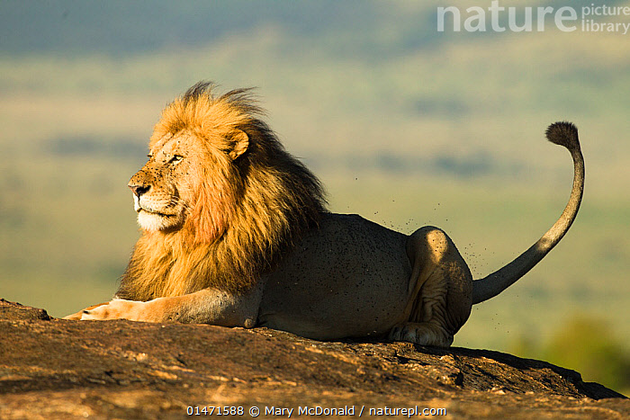 African lion (Panthera leo), resting on a rock, surrounded by flies, Masai Mara Game Reserve, Kenya. November.  ,  high15,,Animal,Vertebrate,Mammal,Carnivore,Cat,Big cat,Lion,Animalia,Animal,Wildlife,Vertebrate,Mammalia,Mammal,Carnivora,Carnivore,Felidae,Cat,Panthera,Big cat,Panthera leo,Resting,Rest,Thinking,Thoughtful,Waiting,Nobody,Africa,East Africa,Kenya,Profile,Side View,Male Animal,Mane,Manes,Tail,Light,Lights,Sunlight,Outdoors,Open Air,Outside,Day,Reserve,Lion,Protected area,Contemplation,Game reserve,Bad mood,Tolerance,  ,  Mary McDonald