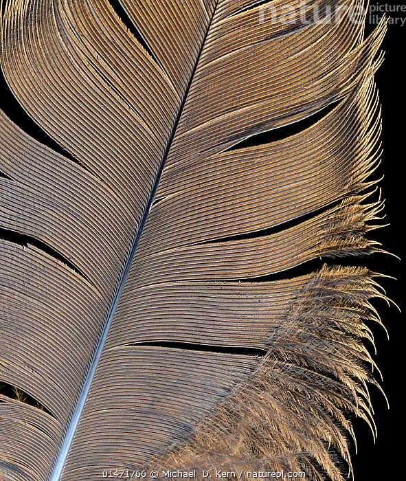 Grey crowned crane (Balearica regulorum) feather against black background.  ,  Animal,Vertebrate,Birds,Crane,Crowned crane,Animalia,Animal,Wildlife,Vertebrate,Chordate,Aves,Birds,Gruiformes,Gruidae,Crane,Balearica,Crowned crane,Balearica regulorum,Blue necked crane,Royal crane,Cutout,Plain Background,Black Background,Feather,Feathers,Endangered species,threatened,Endangered ,Vertical,  ,  Michael  D. Kern