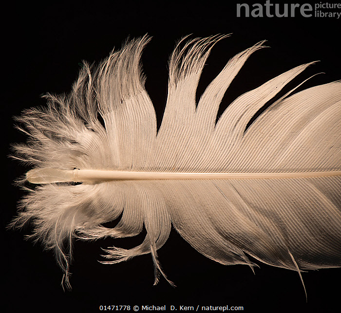 Grey crowned crane (Balearica regulorum) feather against black background.  ,  Animal,Vertebrate,Birds,Crane,Crowned crane,Animalia,Animal,Wildlife,Vertebrate,Chordate,Aves,Birds,Gruiformes,Gruidae,Crane,Balearica,Crowned crane,Balearica regulorum,Blue necked crane,Royal crane,Cutout,Plain Background,Black Background,Feather,Feathers,Contour feathers,Endangered species,threatened,Endangered  ,  Michael  D. Kern