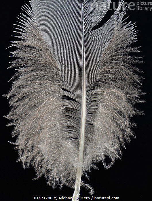 Grey crowned crane (Balearica regulorum) feather against black background.  ,  Animal,Vertebrate,Birds,Crane,Crowned crane,Animalia,Animal,Wildlife,Vertebrate,Chordate,Aves,Birds,Gruiformes,Gruidae,Crane,Balearica,Crowned crane,Balearica regulorum,Blue necked crane,Royal crane,Cutout,Plain Background,Black Background,Feather,Feathers,Contour feathers,Endangered species,threatened,Endangered ,Vertical,  ,  Michael  D. Kern