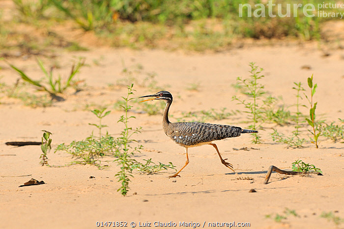 Sunbittern (Eurypyga helias) running and calling, Pantanal, Mato Grosso State, Western Brazil.  ,  ANIMAL,VERTEBRATE,BIRDS,SUNBITTERN,PANTANAL WETLANDS,ANIMALIA,ANIMAL,WILDLIFE,VERTEBRATE,CHORDATE,AVES,BIRDS,GRUIFORMES,EURYPYGIDAE,SUNBITTERN,EURYPIGIDAE,EURYPYGA,EURYPYGA HELIAS,VOCALISATION,CALLING,CALL,RUNNING,LATIN AMERICA,SOUTH AMERICA,BRAZIL,PROFILE,ANIMAL BEHAVIOUR,BEHAVIOUR,PANTANAL,PANTANAL WETLANDS  ,  Luiz Claudio Marigo