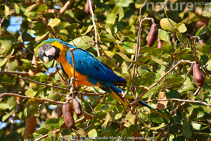 Blue and yellow macaw (Ara ararauna) perched in tree, Pantanal, Brazil., ANIMAL,VERTEBRATE,BIRDS,PARROT,TRUE PARROT,MACAW,BLUE AND YELLOW MACAW,PANTANAL WETLANDS,ANIMALIA,ANIMAL,WILDLIFE,VERTEBRATE,CHORDATE,AVES,BIRDS,PSITTACIFORMES,PARROT,PSITTACINES,PSITTACIDAE,TRUE PARROT,PSITTACOIDEA,ARA,MACAW,NEOTROPICAL PARROTS,ARINI,ARINAE,ARA ARARAUNA,BLUE AND YELLOW MACAW,BLUE AND GOLD MACAW,LATIN AMERICA,SOUTH AMERICA,BRAZIL,PROFILE,SIDE VIEW,PORTRAIT,PANTANAL,PANTANAL WETLANDS,MATO GROSSO, Luiz Claudio Marigo