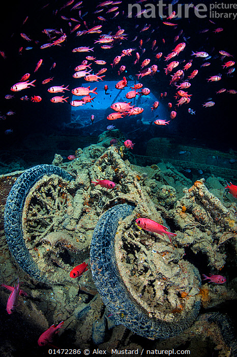 World War II British motorbikes (Norton 16H) stacked up on the back of truck in the hold of wreck of HMS Thistlegorm, with soldierfish (Myripristis murdjan) swimming above. Sha'ab Ali, Sinai, Egypt. Red Sea., catalogue7,Animal,Vertebrate,Ray-finned fish,Soldierfish,Red soldierfish,Animalia,Animal,Wildlife,Vertebrate,Actinopterygii,Ray-finned fish,Osteichthyes,Bony fish,Fish,Beryciformes,Holocentridae,Myripristis,Soldierfish,Myripristis murdjan,Red soldierfish,Blotcheye soldierfish,Cromson soldierfish,Crimson soldierfish,Pinecone soldiersfish,Small-eyed squirrelfish,Sciaena murdjan,Perca murdjan,Myripristis parvidens,Mystery,Mysterious,Colour,Pink,Deep,Depth,School,Many,Group,Large Group,Nobody,Dark,Darkness,Historic Event,War,World War Two,Wreck,Wreckage,Shipwreck,Africa,North Africa,Northern Africa,Egypt,Vertical,Land Vehicle,Motor Vehicle,Motorcycle,Part Of Vehicle,Tyre,Tires,Tire,Tyres,Tropical,Sea Floor,Seabed,Red Sea,History,Marine,Underwater,Water,Saltwater,Sea,Tropics,Sealife,The Past,HMS Thistlegorm,Marine, Alex  Mustard
