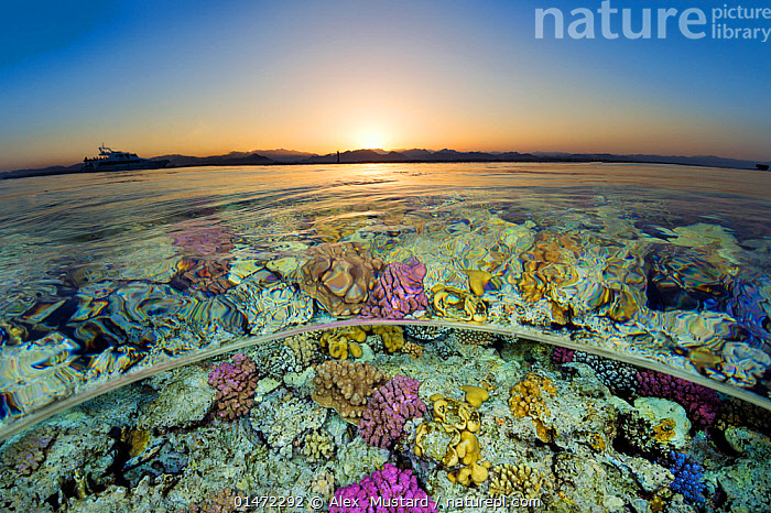 Split level view of shallow coral reef in the Red Sea at sunset. Gordon Reef, Sinai, Egypt. Strait of Tiran, Gulf of Aqaba, Red Sea.  ,  catalogue7,Variation,Colour,Pink,Yellow,Shallow,Nobody,Africa,North Africa,Northern Africa,Egypt,Close Up,Surface View,Surface Views,Tropical,Reef,Reefs,Coral Reef,Coral Reefs,Light,Lights,Sunlight,Red Sea,Sunset,Setting Sun,Sunsets,Outdoors,Open Air,Outside,Twilight,Evening,Nature,Natural,Natural World,Marine,Underwater,Split level,Water,Arty shots,Saltwater,Sea,Tropics,Dusk,View to land,Water level,Yellow Colour,Gulf of Aqaba,Gordon Reef  ,  Alex  Mustard
