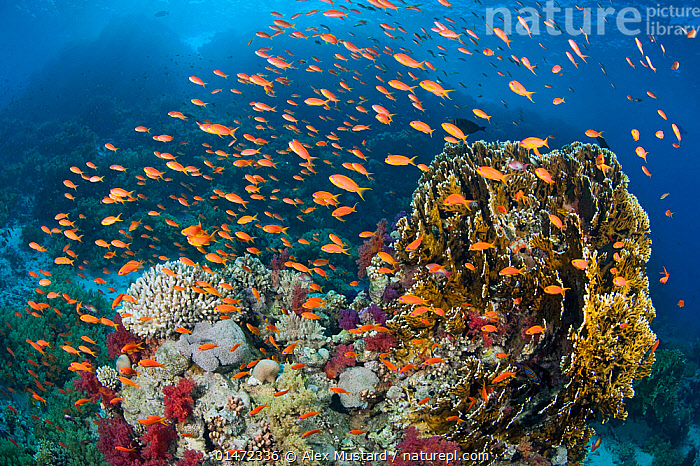 Busy coral reef community feeding on plankton, with Scalefin anthias (Pseudanthias squamipinnis), Soft corals (Dendronephthya sp.) and Fire corals (Millepora dichotoma) Ras Mohammed Marine Park, Sinai, Egypt. Red Sea.  ,  ANIMAL,CNIDARIAN,HYDROZOAN,ATHECATE HYDROID,FIRE CORAL,VERTEBRATE,RAY FINNED FISH,PERCOMORPHI,ANTHIAS,LYRETAIL ANTHIAS,ANIMALIA,ANIMAL,WILDLIFE,CNIDARIA,CNIDARIAN,COELENTRERATA,HYDROZOA,HYDROZOAN,HYDROID,ANTHOATHECATA,ATHECATE HYDROID,ANTHOMEDUSEAE,MILLEPORIDAE,FIRE CORAL,VERTEBRATE,CHORDATE,ACTINOPTERYGII,RAY FINNED FISH,OSTEICHTHYES,BONY FISH,FISH,PERCIFORMES,PERCOMORPHI,ACANTHOPTERI,SERRANIDAE,PSEUDANTHIAS,ANTHIAS,PSEUDANTHIAS SQUAMIPINNIS,LYRETAIL ANTHIAS,SCALEFIN ANTHIAS,ANTHIAS CHEIROSPILOS,ANTHIAS GIBBOSUS,ANTHIAS SQUAMIPINNIS,AFRICA,NORTH AFRICA,NORTHERN AFRICA,EGYPT,TROPICAL,REEFS,CORAL REEFS,RED SEA,LANDSCAPE,LANDSCAPES,MARINE,UNDERWATER,SEA,TROPICS,INVERTEBRATE,INVERTEBRATES,MARINE,NORTH-AFRICA  ,  Alex Mustard