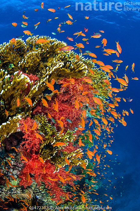 Busy coral reef community feeding on plankton, with Scalefin anthias (Pseudanthias squamipinnis), Soft corals (Dendronephthya sp.) and Fire corals (Millepora dichotoma), making up classic Red Sea scene. The Alternatives, Sinai, Egypt.  ,  ANIMAL,CNIDARIAN,HYDROZOAN,ATHECATE HYDROID,FIRE CORAL,VERTEBRATE,RAY FINNED FISH,PERCOMORPHI,ANTHIAS,LYRETAIL ANTHIAS,ANIMALIA,ANIMAL,WILDLIFE,CNIDARIA,CNIDARIAN,COELENTRERATA,HYDROZOA,HYDROZOAN,HYDROID,ANTHOATHECATA,ATHECATE HYDROID,ANTHOMEDUSEAE,MILLEPORIDAE,FIRE CORAL,VERTEBRATE,CHORDATE,ACTINOPTERYGII,RAY FINNED FISH,OSTEICHTHYES,BONY FISH,FISH,PERCIFORMES,PERCOMORPHI,ACANTHOPTERI,SERRANIDAE,PSEUDANTHIAS,ANTHIAS,PSEUDANTHIAS SQUAMIPINNIS,LYRETAIL ANTHIAS,SCALEFIN ANTHIAS,ANTHIAS CHEIROSPILOS,ANTHIAS GIBBOSUS,ANTHIAS SQUAMIPINNIS,SCHOOL,GROUP,AFRICA,NORTH AFRICA,NORTHERN AFRICA,EGYPT,VERTICAL,TROPICAL,REEFS,CORAL REEFS,RED SEA,LANDSCAPE,LANDSCAPES,MARINE,UNDERWATER,SEA,TROPICS,INVERTEBRATE,INVERTEBRATES,MARINE,NORTH-AFRICA ,Vertical,  ,  Alex Mustard