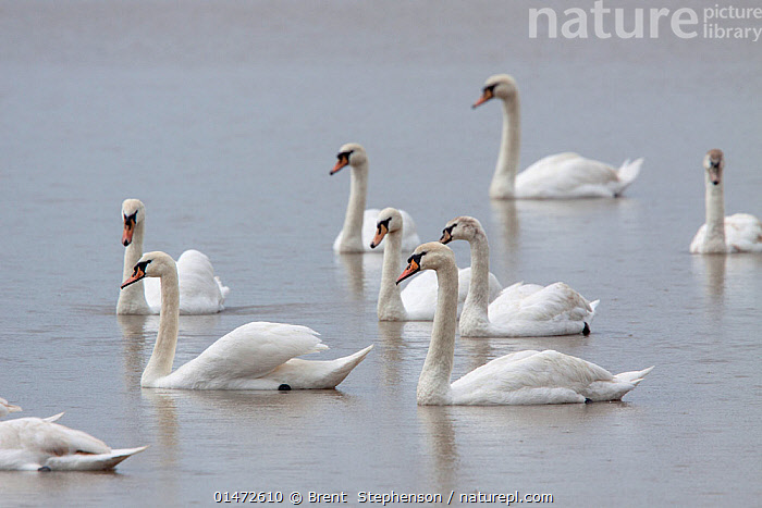 Group of Mute swans (Cygnus olor) swimming across a pond, most of them in eclipse plumage. First and third birds from the right are immatures, note the grey wash to the head. Coombe Hill Meadows, Gloucestershire, United Kingdom. May.  ,  ANIMAL,VERTEBRATE,BIRDS,WATERFOWL,TRUE SWAN,MUTE SWAN,ANIMALIA,ANIMAL,WILDLIFE,VERTEBRATE,CHORDATE,AVES,BIRDS,ANSERIFORMES,WATERFOWL,FOWL,GALLOANSERANS,ANATIDAE,CYGNUS,TRUE SWAN,SWAN,CYGNINAE,ANSERINAE,CYGNUS OLOR,MUTE SWAN,SWIMMING,FLOCK,FLOCKING,FLOCKS,GROUP,YOUNG ANIMAL,JUVENILE,YOUNG,BOOKPLATE,BIRDSOFNEWZEALAND,WATERFOWLS,WILDFOWL,WILDFOWLS)  ,  Brent  Stephenson