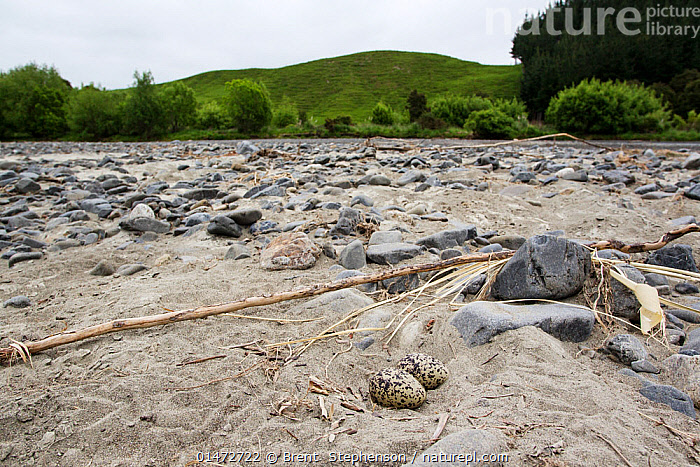 South Island oystercatcher (Haematopus finschi) nest containing two eggs. This is one of the few pairs of this species that nests on braided riverbeds in the North Island, as the name suggests they normally nest in the South Island. Tutaekuri River, Hawkes Bay, New Zealand,  ,  ANIMAL,VERTEBRATE,BIRDS,OYSTERCATCHER,SOUTH ISLAND PIED OYSTERCATCHER,SOUTH ISLAND OYSTERCATCHER,ANIMALIA,ANIMAL,WILDLIFE,VERTEBRATE,CHORDATE,AVES,BIRDS,CHARADRIIFORMES,HAEMATOPODIDAE,OYSTERCATCHER,WADER,SHOREBIRD,HAEMATOPUS,HAEMATOPUS FINSCHI,SOUTH ISLAND PIED OYSTERCATCHER,SOUTH ISLAND OYSTERCATCHER,SOUTH ISLAND PIED OYSTER CATCHER,HAEMATOPUS LONGIROSTRIS FINSCHI,HAEMATOPUS OSTRALEGUS FINSCHI,AUSTRALASIA,NEW ZEALAND,SOUTH ISLAND,ANIMAL EGGS,EGG,EGGS,NEST,NESTS,BIODIVERSITY HOTSPOTS,BIODIVERSITY HOTSPOT,BOOKPLATE,BIRDSOFNEWZEALAND  ,  Brent  Stephenson
