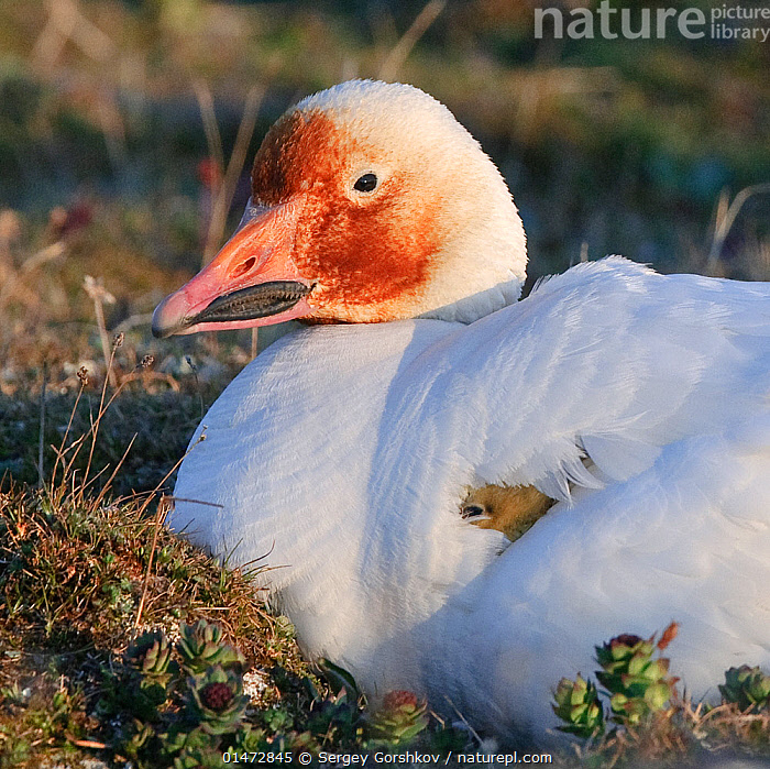 Snow goose (Chen caerulescens caerulescens) brooding chicks, with rusty orange face from iron rich soil in which it forages. Wrangel Island, Far Eastern Russia, June.  ,  ANIMAL,VERTEBRATE,BIRDS,WATER FOWL,WATERFOWL,TRUE GOOSE,SNOW GOOSE,ANIMALIA,ANIMAL,WILDLIFE,VERTEBRATE,CHORDATE,AVES,BIRDS,ANSERIFORMES,WATER FOWL,GALLOANSERANS,WATERFOWL,ANATIDAE,CHEN,TRUE GOOSE,GOOSE,ANSERINI,ANSERINAE,CHEN CAERULESCENS,SNOW GOOSE,ANSER CAERULESCENS,RUSSIA,ARCTIC,POLAR,YOUNG ANIMAL,JUVENILE,BABIES,CHICK,BABY BIRD,BABY BIRDS,YOUNG BIRDS,CHICKS,ANIMAL BEHAVIOUR,BROODING,PARENTAL BEHAVIOUR,BEHAVIOUR,YOUNG,PARENTAL,PROTECTED AREA,RESERVE,RUSSIAN FAR EAST,BABY,ZAPOVEDNIK,WILDFOWL,GOOSE,GEESE  ,  Sergey  Gorshkov