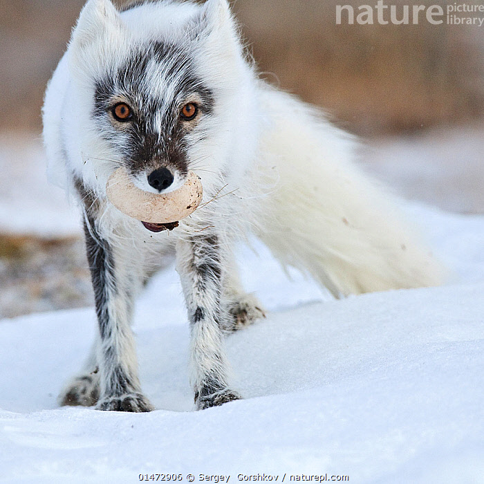Arctic fox (Vulpes lagopus) with Snow goose egg in mouth, mid moult from winter to summer fur, Wrangel Island, Far Eastern Russia, June.  ,  ANIMAL,VERTEBRATE,MAMMAL,CARNIVORE,CANID,TRUE FOX,ARCTIC FOX,ANIMALIA,ANIMAL,WILDLIFE,VERTEBRATE,CHORDATE,MAMMALIA,MAMMAL,CARNIVORA,CARNIVORE,CANIDAE,CANID,VULPES,TRUE FOX,VULPINI,CANINAE,VULPES LAGOPUS,ARCTIC FOX,POLAR FOX,BLUE FOX,ICE FOX,WHITE FOX,ALOPEX LAGOPUS,CANIS LAGOPUS,RUSSIA,ARCTIC,POLAR,PORTRAIT,ANIMAL EGGS,EGG,EGGS,ANIMAL BEHAVIOUR,PREDATION,COLOUR PHASES,SUMMER COAT,WINTER COAT,BEHAVIOUR,MOULTS,MOULT,MOLTING,PROTECTED AREA,UNESCO WORLD HERITAGE SITE,UNESCO,HERITAGE SITE,WORLD HERITAGE SITE,RESERVE,RUSSIAN FAR EAST,ZAPOVEDNIK  ,  Sergey  Gorshkov