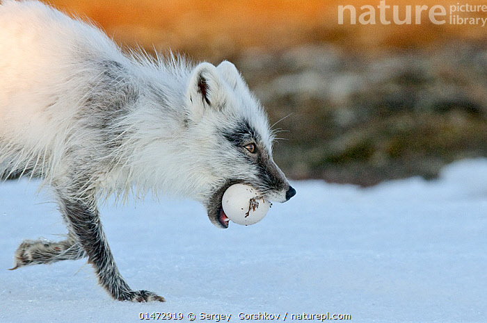 Arctic fox (Vulpes lagopus) with Snow goose egg in mouth, mid moult from winter to summer fur, Wrangel Island, Far Eastern Russia., GORSHKOV SERGEY,RUSSIA,WRANGEL ISLAND,ANIMAL,VERTEBRATE,MAMMAL,CARNIVORE,CANID,TRUE FOX,ARCTIC FOX,ANIMALIA,ANIMAL,WILDLIFE,VERTEBRATE,CHORDATE,MAMMALIA,MAMMAL,CARNIVORA,CARNIVORE,CANIDAE,CANID,VULPES,TRUE FOX,VULPINI,CANINAE,VULPES LAGOPUS,ARCTIC FOX,POLAR FOX,BLUE FOX,ICE FOX,WHITE FOX,ALOPEX LAGOPUS,CANIS LAGOPUS,RUSSIA,ARCTIC,POLAR,ANIMAL EGGS,EGG,EGGS,TUNDRA,ANIMAL BEHAVIOUR,PREDATION,COLOUR PHASES,SUMMER COAT,WINTER COAT,BEHAVIOUR,MOULTS,MOULT,MOLTING,PROTECTED AREA,UNESCO WORLD HERITAGE SITE,UNESCO,HERITAGE SITE,WORLD HERITAGE SITE,RESERVE,RUSSIAN FAR EAST,ZAPOVEDNIK, Sergey  Gorshkov