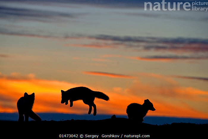 Arctic foxes (Vulpes lagopus) playing, silhouetted at sunset, Wrangel Island, Far Eastern Russia. August 2010., ANIMAL,VERTEBRATE,MAMMAL,CARNIVORE,CANID,TRUE FOX,ARCTIC FOX,ANIMALIA,ANIMAL,WILDLIFE,VERTEBRATE,CHORDATE,MAMMALIA,MAMMAL,CARNIVORA,CARNIVORE,CANIDAE,CANID,VULPES,TRUE FOX,VULPINI,CANINAE,VULPES LAGOPUS,ARCTIC FOX,POLAR FOX,BLUE FOX,ICE FOX,WHITE FOX,ALOPEX LAGOPUS,CANIS LAGOPUS,FEW,THREE,GROUP,RUSSIA,ARCTIC,POLAR,BACK LIT,BACKLIT,SUNSET,SETTING SUN,SUNSETS,LANDSCAPE,LANDSCAPES,ANIMAL BEHAVIOUR,PLAYING,SILHOUETTE,BEHAVIOUR,PLAYS,PLAY,PLAYFUL,PROTECTED AREA,RESERVE,RUSSIAN FAR EAST,DUSK,THREE ANIMALS,ZAPOVEDNIK,Communication, Sergey  Gorshkov