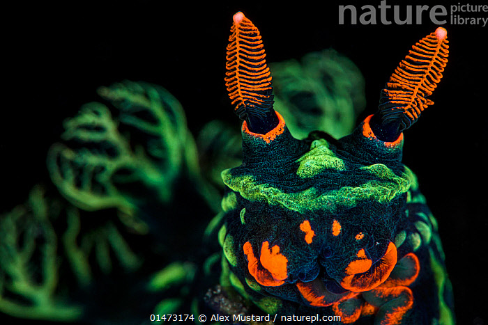 High magnification photo of Nudibranch (Nembrotha kubaryana), showing orange mouth parts and sensory rhinophores, and green gills (out of focus) Bitung, North Sulawesi, Indonesia. Lembeh Strait, Molucca Sea. Finalist, Wildlife Photographer of the Year (WPOY) 2014 competition, Amphibians and Reptiles category.  ,  high1314,Animal,Mollusc,Gastropod,Nudibranch,Animalia,Animal,Wildlife,Mollusca,Mollusc,Gastropoda,Gastropod,Nudibranch,Nembrotha kubaryana,Bizarre,Weird,Colour,Green,Orange,Nobody,Luminosity,Bright,Brightness,Vivid,Vividness,Asia,South East Asia,Indonesia,Plain Background,Black Background,Close Up,Extreme Close-Up,Front View,View From Front,Portrait,Mouth,Tropical,Ocean,Pacific Ocean,Marine,Underwater,Water,Indo Pacific,Saltwater,Biodiversity hotspot,Tropics,Molucca Sea,Sulawesi,Wallacea,Sea slug,Seaslug,Seaslugs,Direct Gaze,Alien appearance,Sealife,Green colour,Sensory,Lembeh Strait,Bitung,Mutant Nature,Invertebrate,Invertebrates  ,  Alex  Mustard