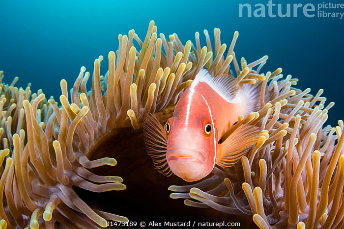 Pink anemonefish (Amphiprion perideraion) looks out from its host Magnificent sea anemone (Heteractis magnifica) Anilao, Batangas, Luzon, Philippines. Verde Island Passages, Tropical West Pacific Ocean.  ,  ANIMAL,CNIDARIAN,ANTHROZOAN,SEA ANEMONE,MAGNIFICENT SEA ANEMONE,VERTEBRATE,RAY FINNED FISH,PERCOMORPHI,DAMSELFISH,CLOWNFISH,PINK ANEMONEFISH,ANIMALIA,ANIMAL,WILDLIFE,CNIDARIA,CNIDARIAN,COELENTRERATA,ANTHOZOA,ANTHROZOAN,ACTINIARIA,SEA ANEMONE,STICHODACTYLIDAE,HETERACTIS,HETERACTIS MAGNIFICA,MAGNIFICENT SEA ANEMONE,RADIANTHUS MABRUCKI,RADIANTHUS RITTERI,VERTEBRATE,CHORDATE,ACTINOPTERYGII,RAY FINNED FISH,OSTEICHTHYES,BONY FISH,FISH,PERCIFORMES,PERCOMORPHI,ACANTHOPTERI,POMACENTRIDAE,DAMSELFISH,DAMESELFISHES,AMPHIPRION,CLOWNFISH,ANEMONEFISH,CLOWN FISH,ANENOME FISH,AMPHIPRION PERIDERAION,PINK ANEMONEFISH,PINK SKUNK CLOWN,SALMON CLOWNFISH,WHITEMANED ANENOMEFISH,WHITEBANDED ANENOMEFISH,FALSE SKUNKSTRIPED ANENOMEFISH,AMPHIPRION ROSENBERGII,PROCHILUS PERIDERAION,AMPHIPRION AMAMIENSIS,SYMBIOTIC RELATIONSHIP,ASIA,SOUTH EAST ASIA,REPUBLIC OF THE PHILIPPINES,PORTRAIT,TROPICAL,OCEAN,OCEANS,PACIFIC OCEAN,MARINE,UNDERWATER,ANIMAL BEHAVIOUR,BEHAVIOUR,BIODIVERSITY HOTSPOTS,BIODIVERSITY HOTSPOT,TROPICS,PH  ,  Alex Mustard